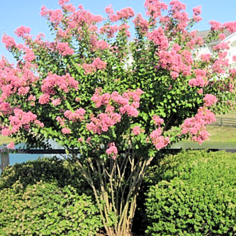 CM-Hopi Crape Myrtle ( HO ) - Advanced Nursery Growers