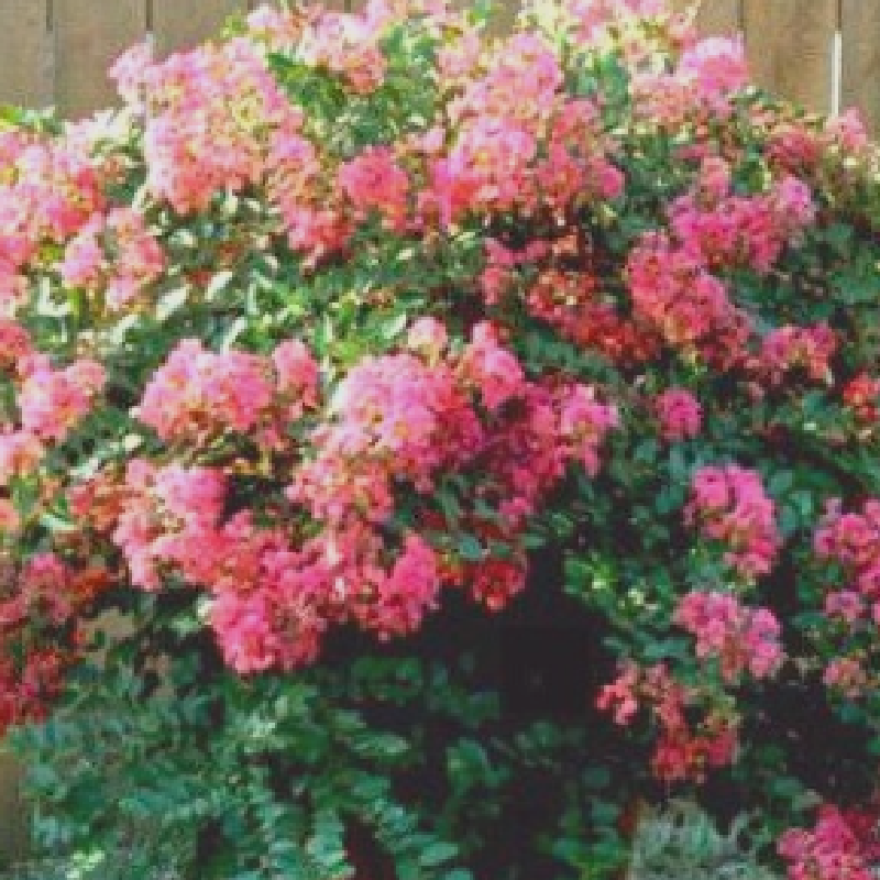Houston Crape Myrtle
