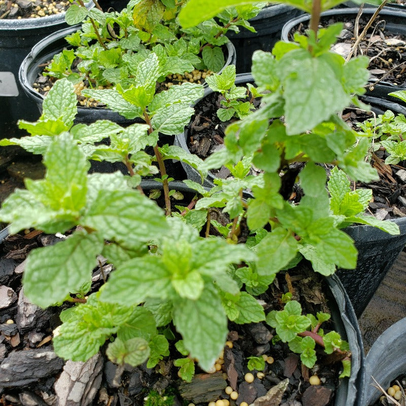 Herb Spearmint - Advanced Nursery Growers