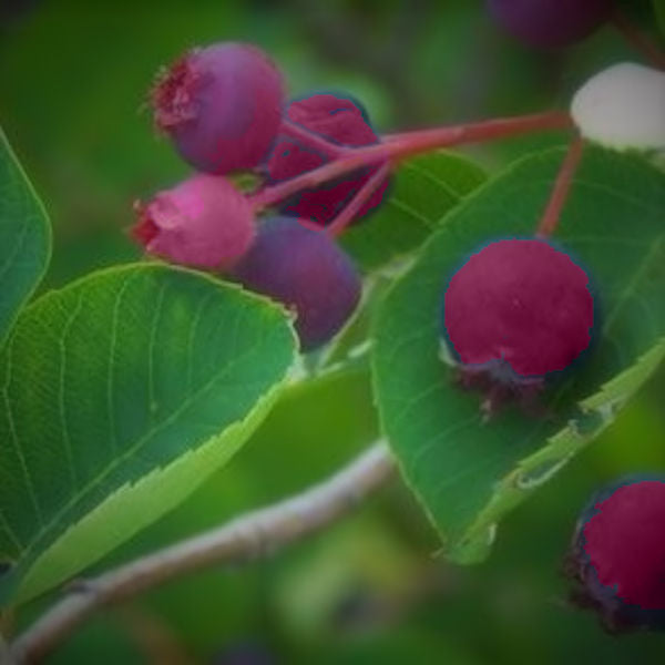 Berry-Service Berry/June Berry -Shadbush Amelanchier Canadensis