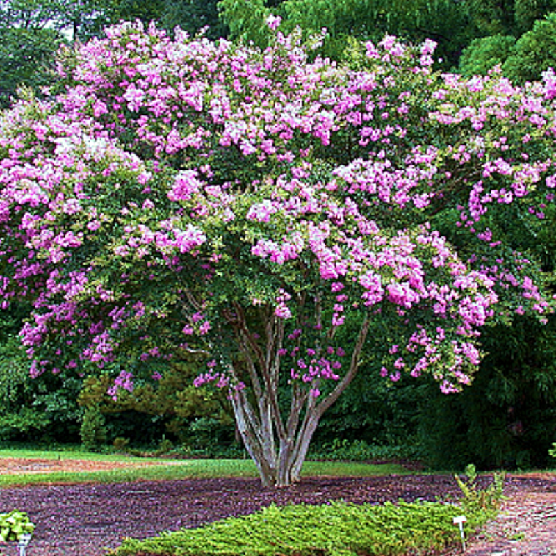 CM-Lipan Crape Myrtles ( LI ) - Advanced Nursery Growers