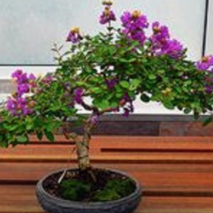 Mardi Gras Crape Myrtle ( MG ) - Advanced Nursery Growers