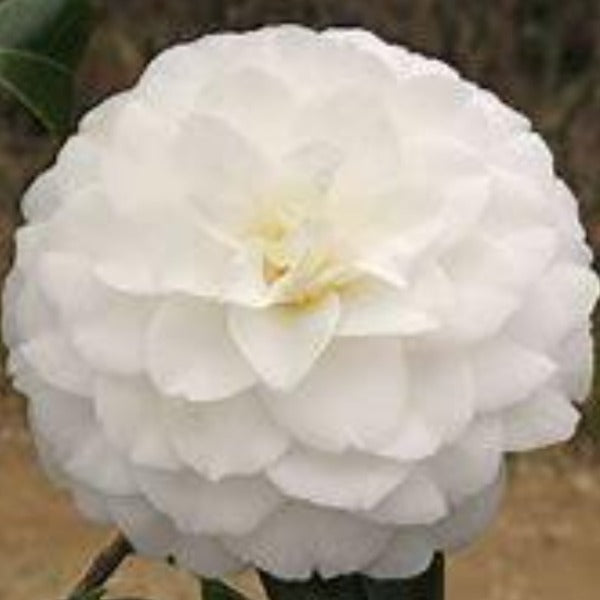 Camellia Mary Alice Cox - Advanced Nursery Growers