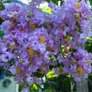 CM-Muskogee Crape Myrtle ( MU ) - Advanced Nursery Growers