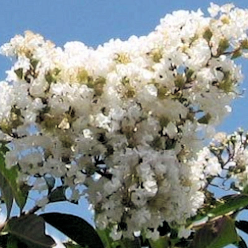 White Crape Myrtle ( White ) - Advanced Nursery Growers