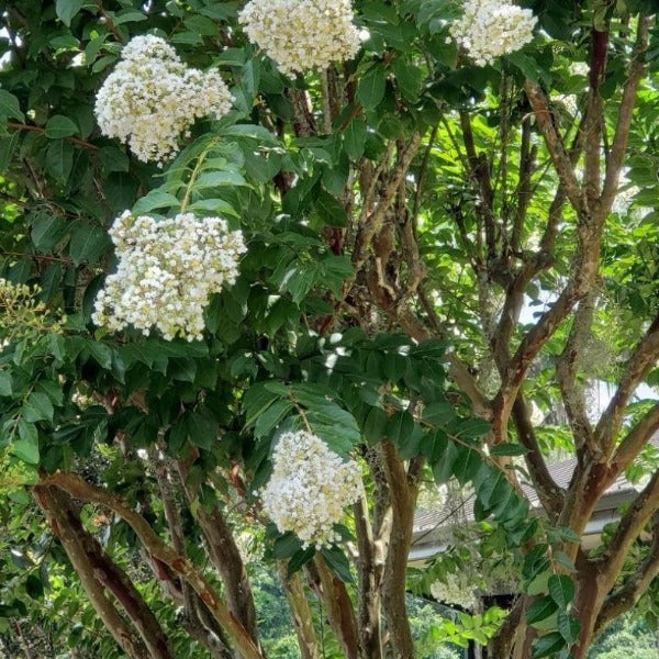 CM-Natchez Crape Myrtle ( NA ) - Advanced Nursery Growers