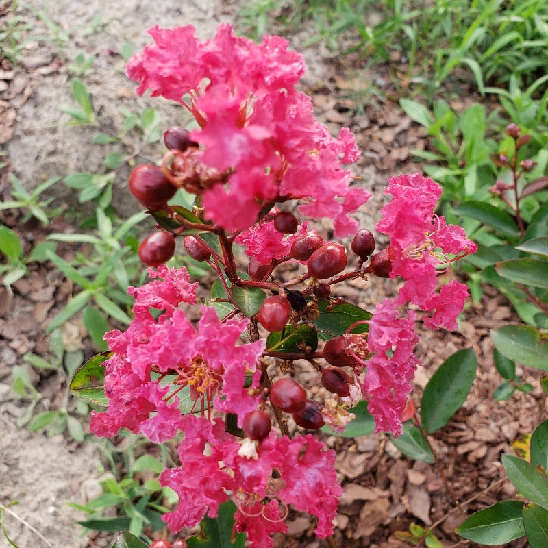 CM-Okmulgee Crape Myrtle ( OK ) - Advanced Nursery Growers