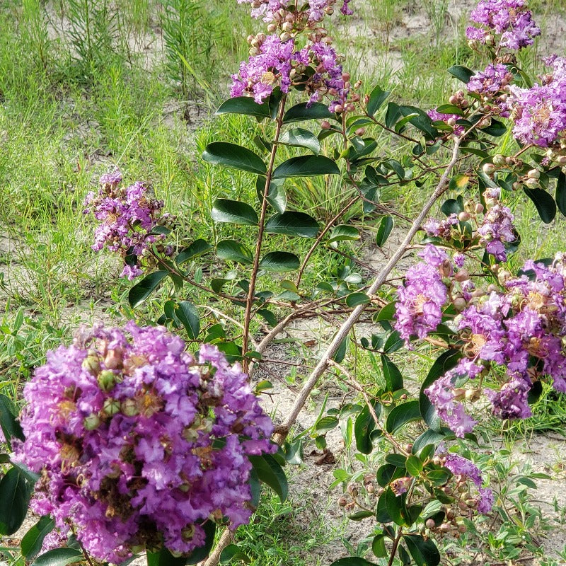 CM-Powhatan Crape Myrtle ( POW ) - Advanced Nursery Growers