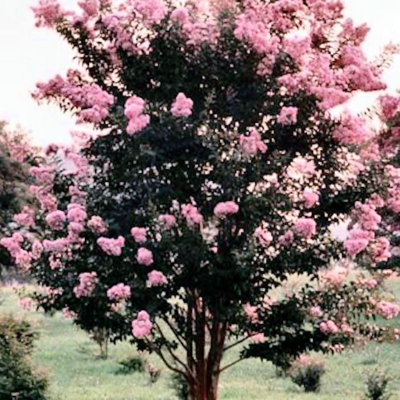 CM-Pecos Crape Myrtle ( PE ) - Advanced Nursery Growers