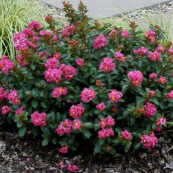 CM-Pokomoke Crape Myrtle ( PO ) - Advanced Nursery Growers