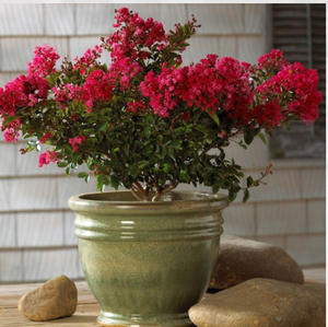 CM-Sacramento Crape Myrtle ( SC ) - Advanced Nursery Growers