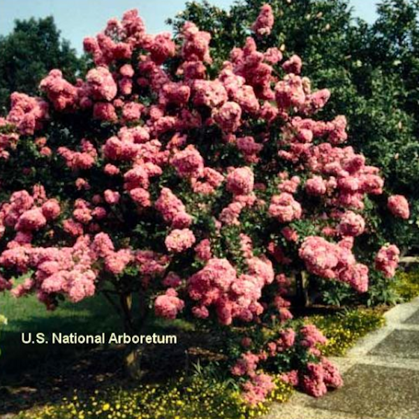 CM-Seminole Crape Myrtle ( SE ) - Advanced Nursery Growers