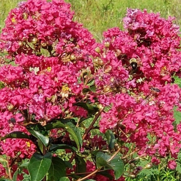 CM-Tuscarora Crape Myrtle ( TC ) - Advanced Nursery Growers