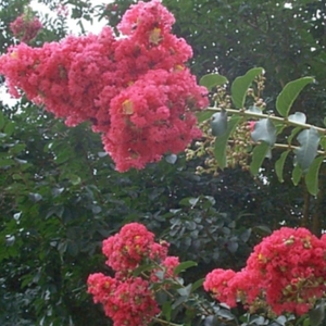 Large watermelon red flower clusters making this a very popular tall  crape myrtle tree.