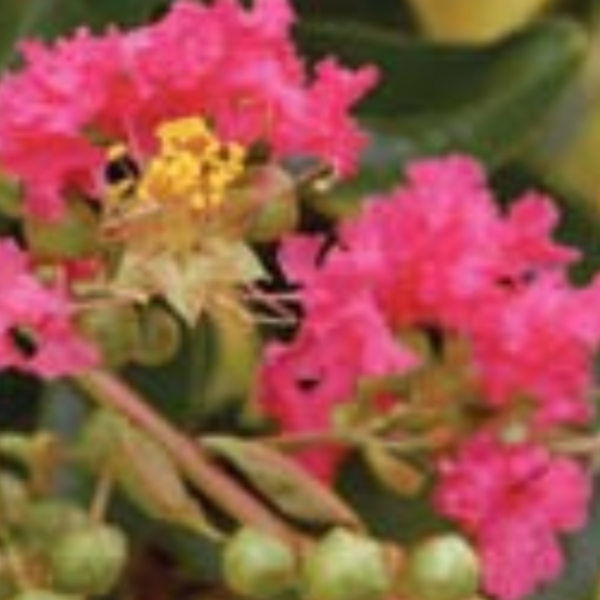 The Tuskegee Crape Myrtle is a tall cold hardy tree with a watermelon red weeping growth habit. It has a bark with different shades of color make it quite showy.