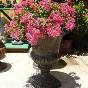 World's Fair Crape Myrtle ( WF )