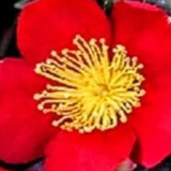 Camellia Yuletide - Advanced Nursery Growers