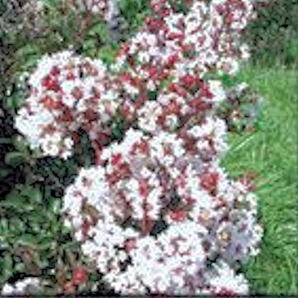 CM-Burgandy Cotton Crape Myrtle  ( BCOT ) by Carl Whitcomb - Advanced Nursery Growers