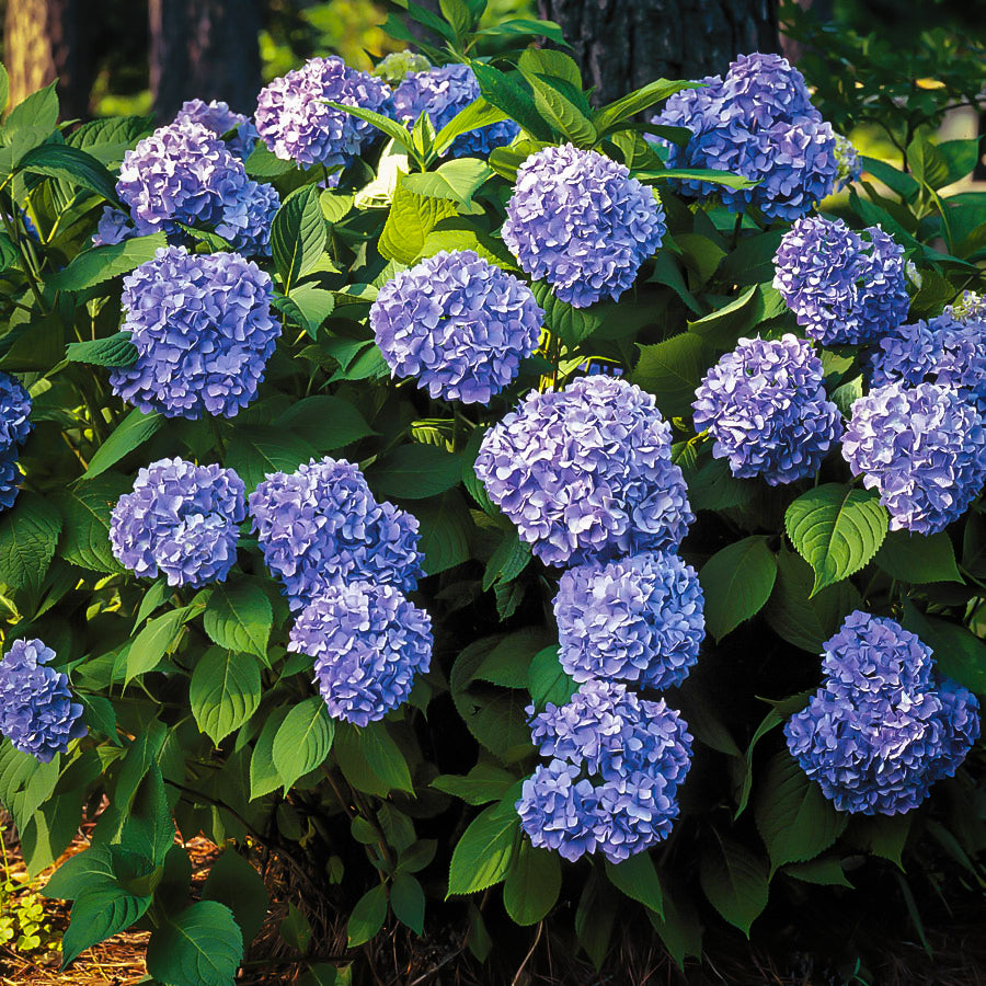 Hydrangea NIKKO BLUE - Advanced Nursery Growers