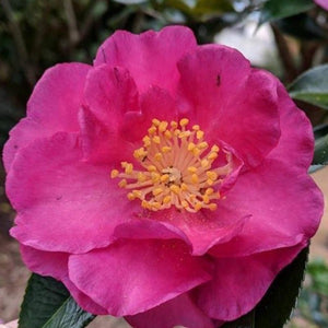 Camellia Kanjiro - Advanced Nursery Growers