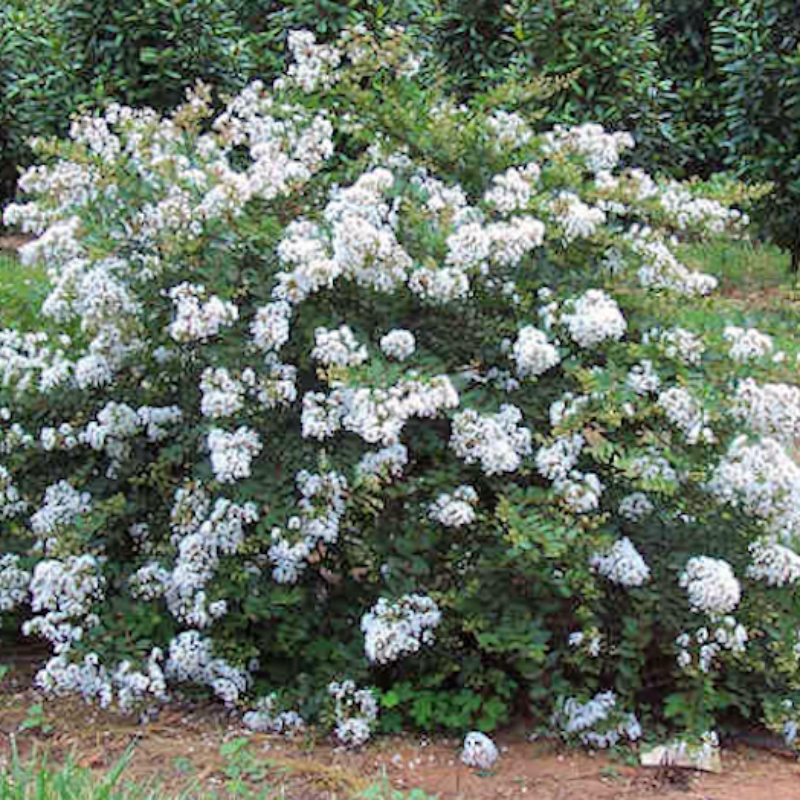 CM-Kiowa Crape Myrtle ( KIO ) - Advanced Nursery Growers