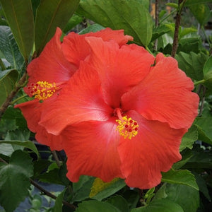 Hibiscus assorted colors