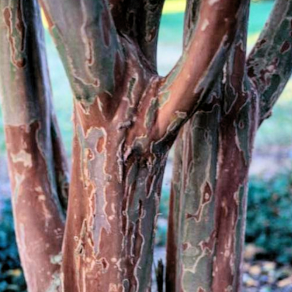 The Osage Crape Myrtle has a very pink flower on the elegant beautiful tree with it's rich chestnut brown bark color.