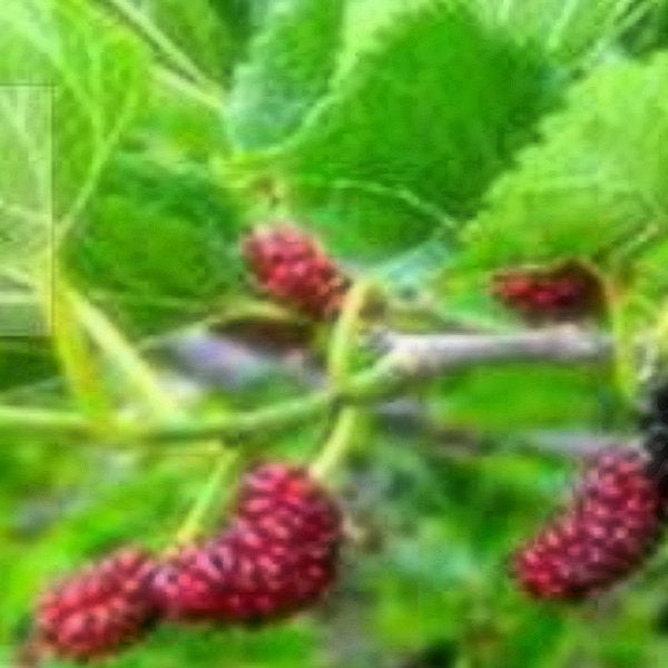 Fruit tree-RED MULBERRY