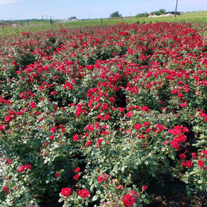 Rose-Sunrosa Rose - Advanced Nursery Growers