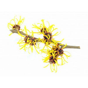 Witch Hazel - Organic