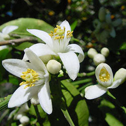Neroli: Gorgeous Orange Blossom