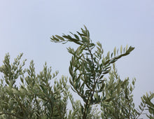 Load image into Gallery viewer, Postcard Set: Olive Trees