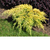 Gold Lace Juniper # 2 Container