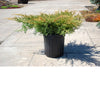 Gold Star® Juniper # 3 Container