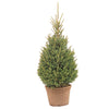 White Spruce - Live Potted Christmas Tree - 80 cm