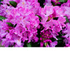 English Roseum Rhododendron # 5 Container (60 cm)