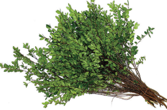 Boxwood (British Columbia Huckleberry with Green Leaves, Brown Branches)