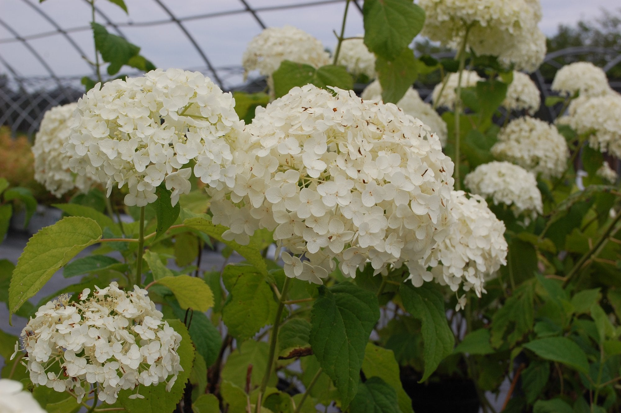 Incrediball® Smooth Hydrangea PW®