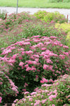 Double Play® Pink Spirea PW®