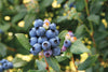 Blueberry - Perpetua™Bushel and Berry™