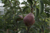 Red Bartlett Pear (Dwarf)