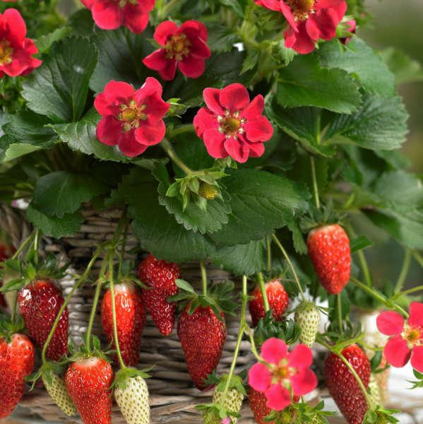 Strawberry (Everbearing) 'Tristan'