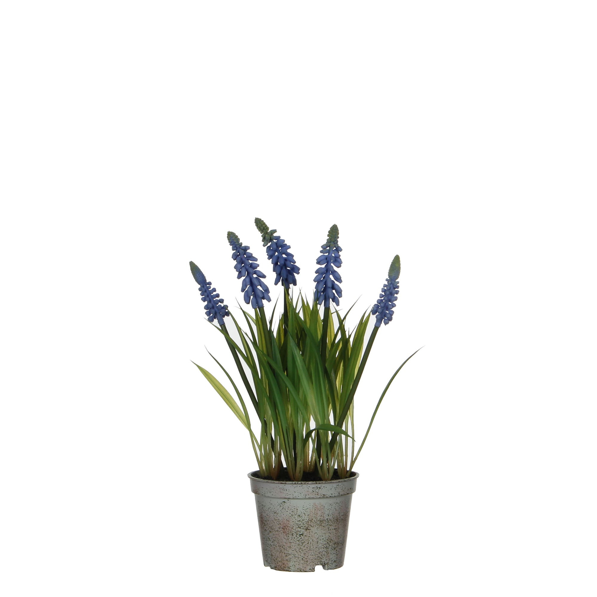 Grape Hyacinth in Plastic Pot