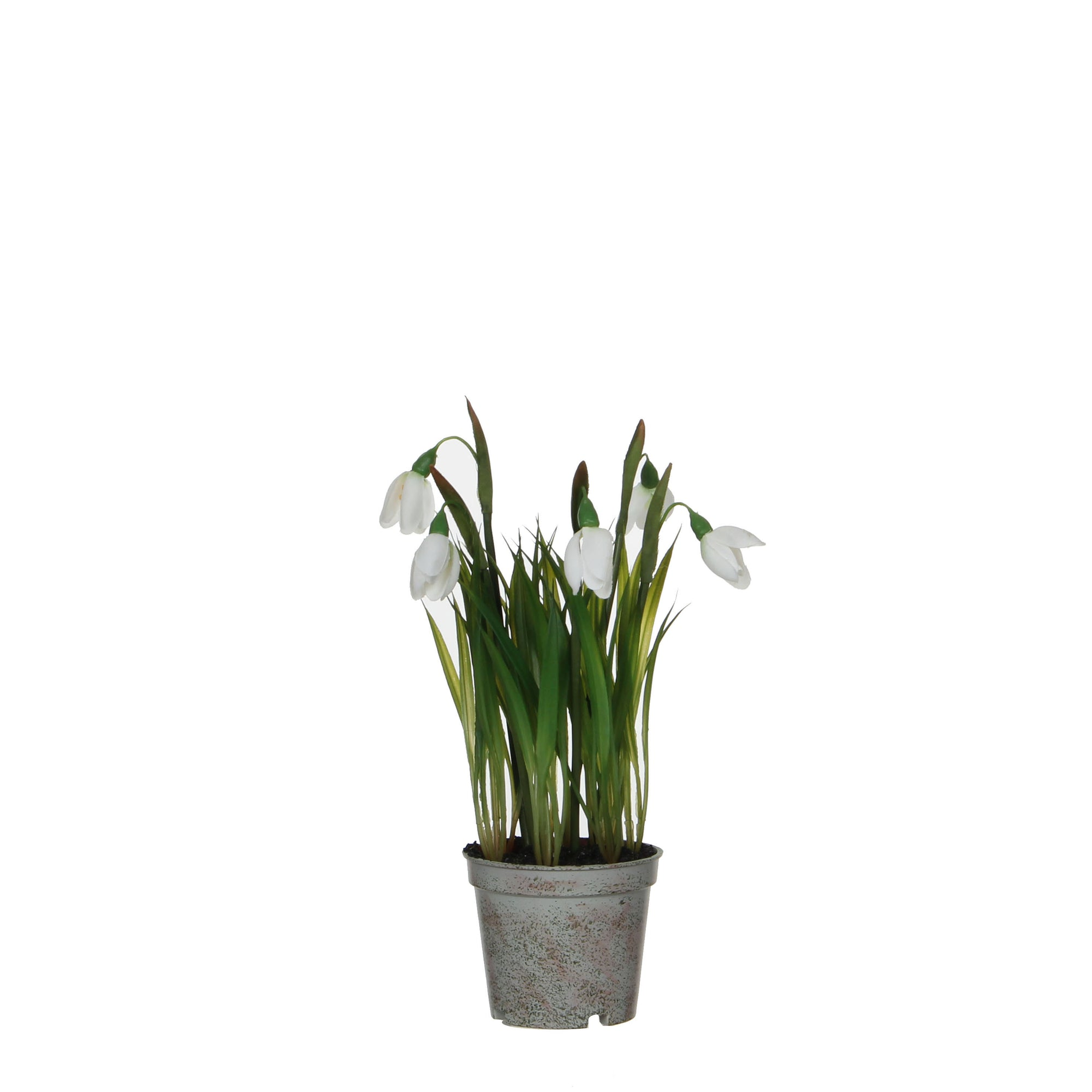 Snowdrop in Plastic Pot