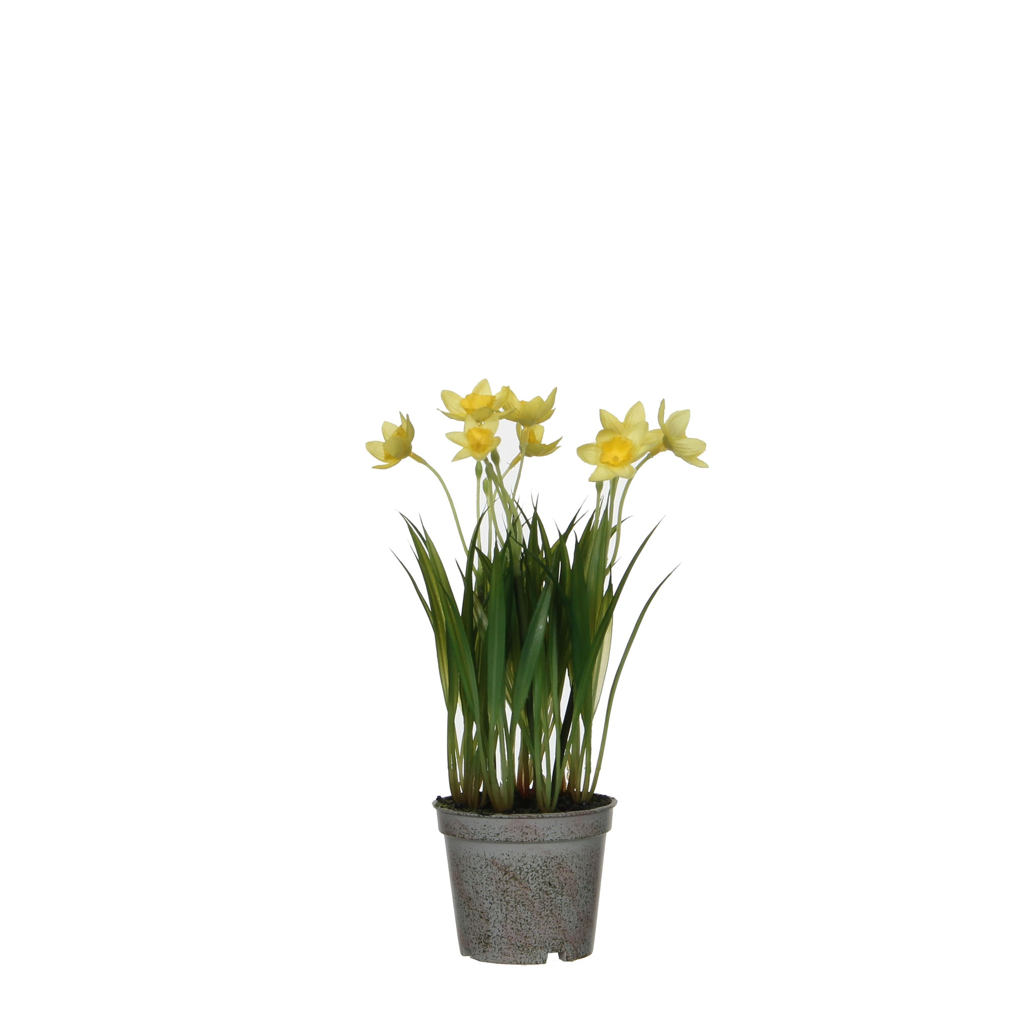 Daffodil in Plastic Pot