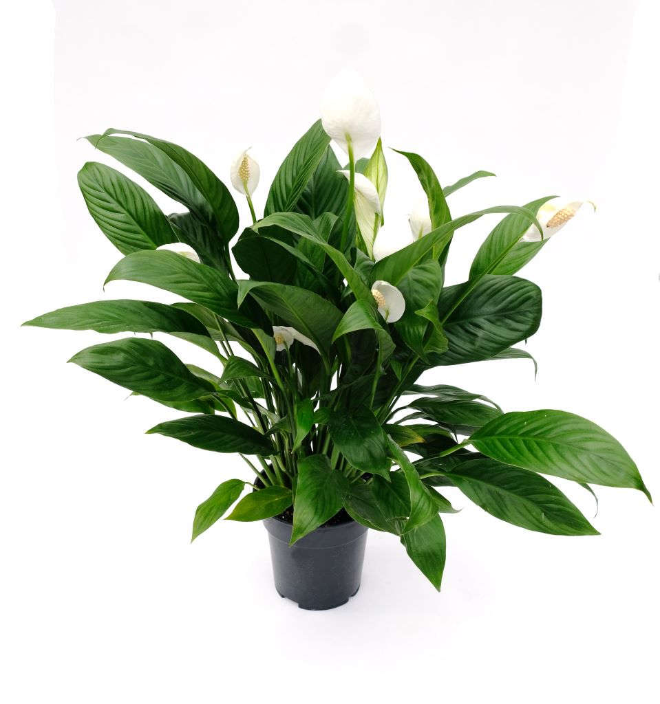 Peace Lily - Sweet Pablo