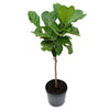 Fiddle-Leaf Fig Lyrata (Standard)