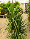 Dracaena Tarzan Staggered Cutback 10in