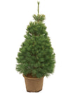Eastern White Pine - Live Potted Christmas Tree - 125 cm