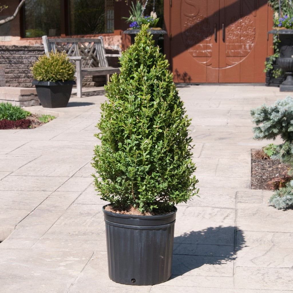 Green Mountain Boxwood (Cone)